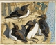 Guillemots on a Cliff by the Sea -